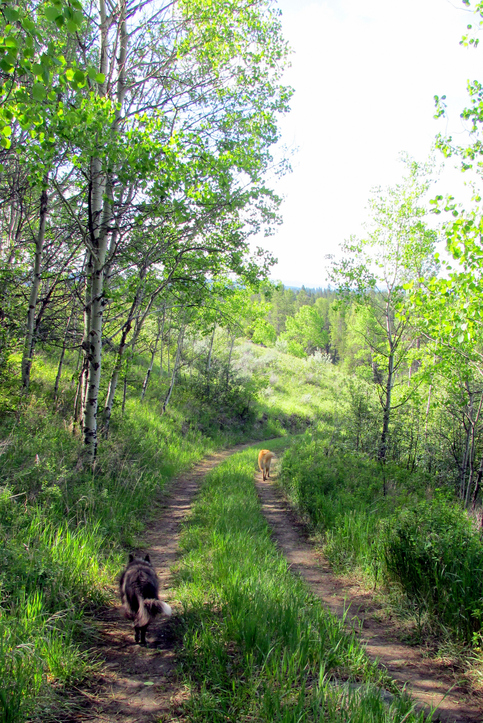 Morning Walk With Dogs, Aspen Forest, Idaho, Western US
